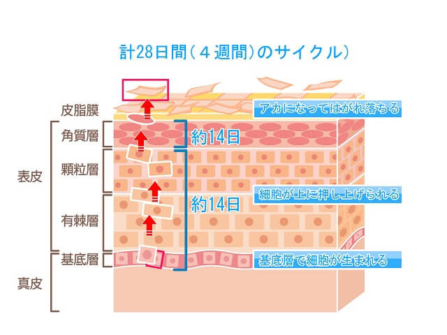 角質層以外の表皮は肌の生産工場